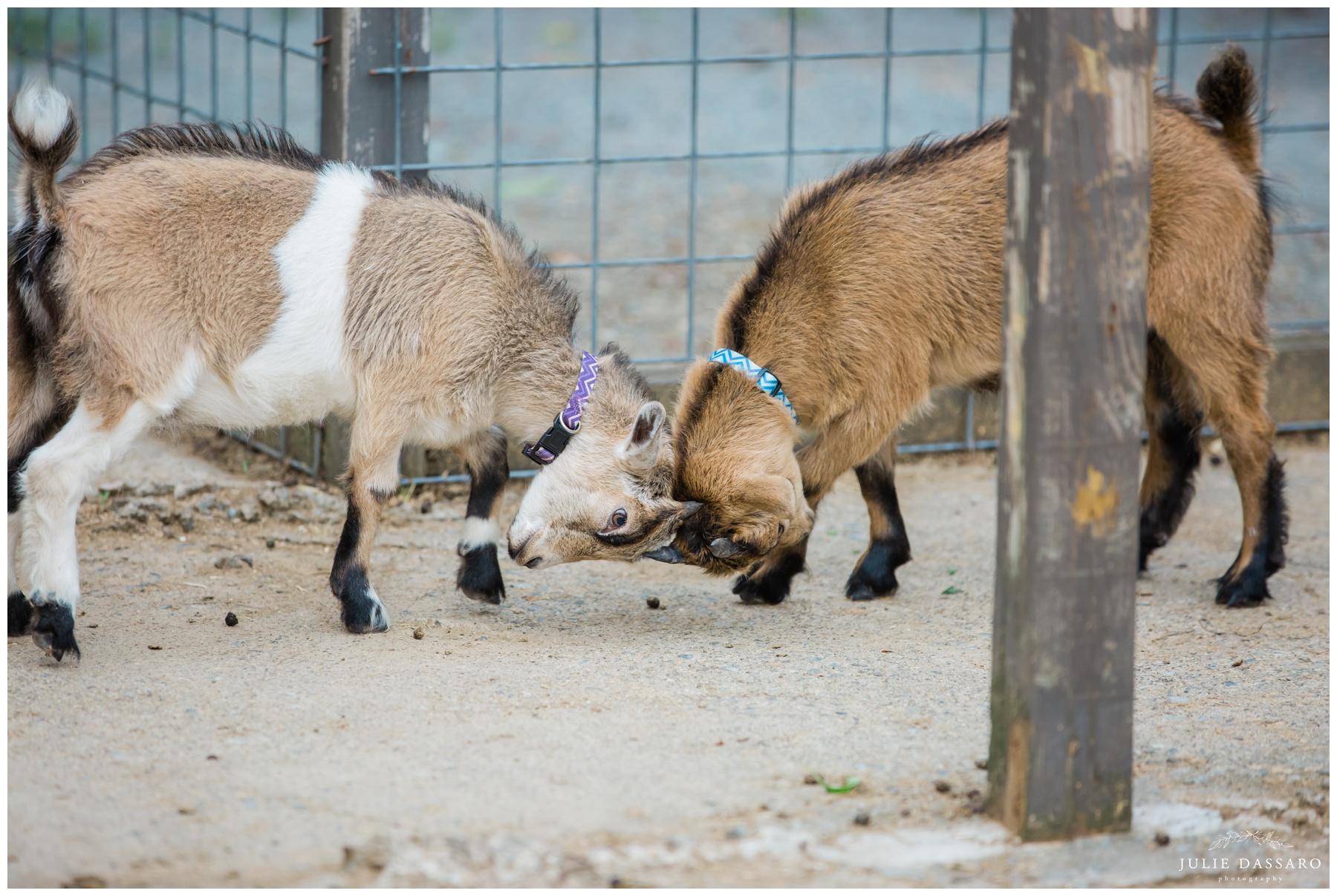 baby goats at NJ farm wedding